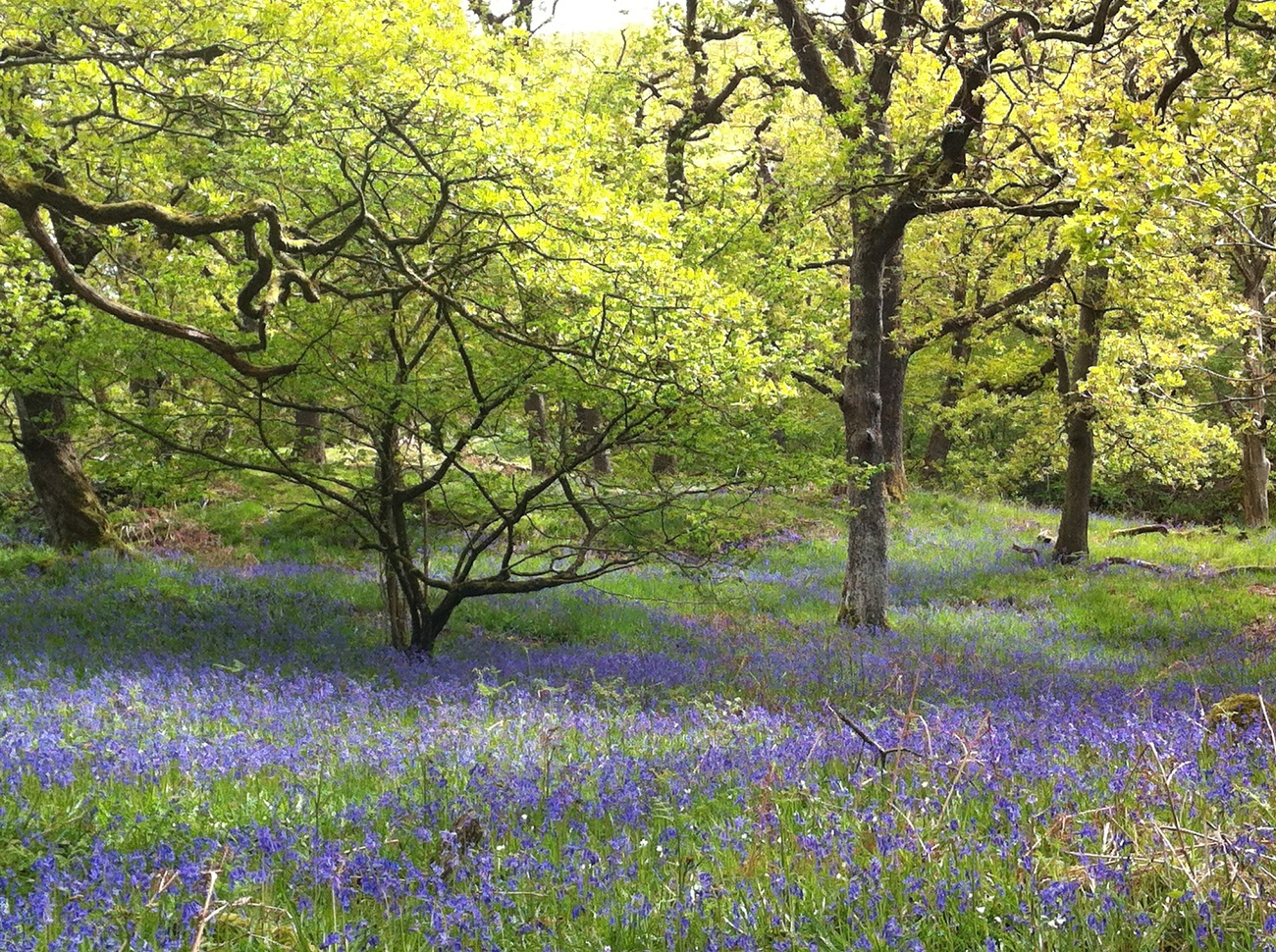 Bluebells at their peak on the Ingleton Waterfalls Walk today